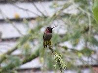 File:Anna's hummingbird (Calypte anna) in the rain.webm