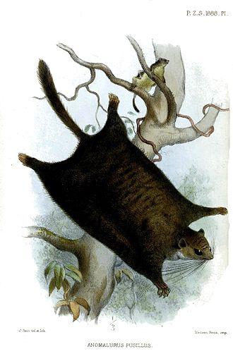 Dwarf scaly-tailed squirrel - Anomalurus pusillus Artist: Joseph Smit, 1888