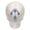 Anterior horn of lateral ventricle - 03.png