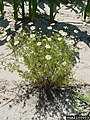 Anthemis cotula plant (03).jpg