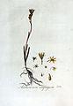 Anthericum ossifragum — Flora Batava — Volume v3.jpg