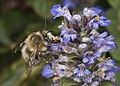Anthophora plumipes male.jpg