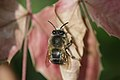 Anthophora sp. (Hymenoptera- Apidae) (9511038414).jpg