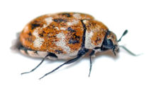 Anthrenus verbasci, en endast ca 2 mm stor skalbagge