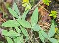 Anthyllis vulneraria ssp. rubriflora in Lozere (4).jpg