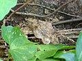 Anticarsia irrorata at Kadavoor.jpg