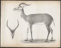 Antilope leucotis - 1700-1880 - Print - Iconographia Zoologica - Special Collections University of Amsterdam - UBA01 IZ21400095.tif