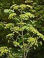 Apiaceae - Peucedanum verticillare-2.JPG