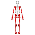 Appendicular skeleton - posterior view.png
