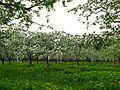 Apple orchard Moscow State University 03.JPG