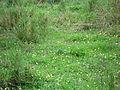 Arachis pintoi habit8 Carol Rose (9525457111).jpg