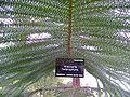 Araucaria heterophylla wiki.jpg