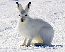 Arctic Hare 1.jpg