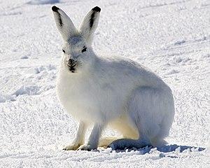 Leporidae - Arctic hare (Lepus arcticus)