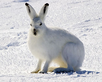 Mammal classification - Arctic hare