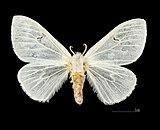 Arctornis l-nigrum MHNT.CUT.2012.0.356. Les Mathes. Female.Dos.jpg
