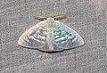 Arctornis sp. (Lymantriidae- Arctorninae) (5695953868).jpg