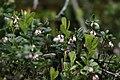 Arctostaphylos uva-ursi - img 33773.jpg
