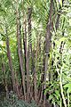 Arecales - Bactris major - 1.jpg