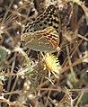 Argynnis pandora 20130828 2.jpg