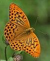 Argynnis paphia male Grinda.jpg