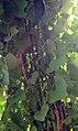 Aristolochia gigantea 8zz.jpg