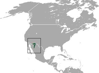 Arizona shrew species of mammal