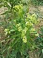 Armoracia rusticana sl1.jpg