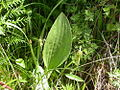 Arnoglossum plantagineum 4.jpg