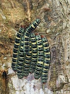 <i>Arsenura armida</i> species of insect