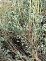 Artemisia nova 4.jpg