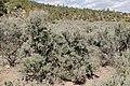Artemisia tridentata - Flickr - aspidoscelis.jpg