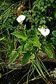 Arum lily, Calla lily, at Boreham, Essex, England.jpg
