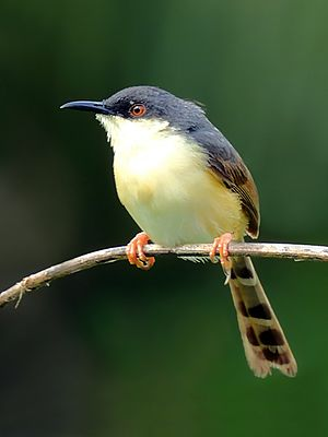 Ashy prinia -  P. s. socialis showing tail graduation.