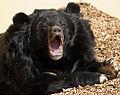 Asiatic Black Bear (6964668080).jpg