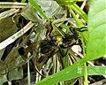 Asilidae. Mating Robberflies (26971728199).jpg