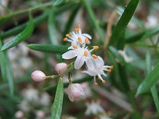 Asparagus Aethiopicus Wikipedia