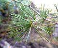 Asparagus laricinus, a, Tweeling.jpg