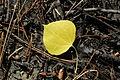 Aspen Leaf (9169943950).jpg