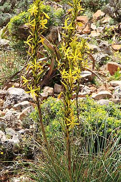 definition of asphodeline