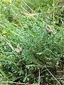 Astragalus vesicarius subsp. vesicarius sl9.jpg