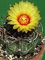 Astrophytum capricorne 29.JPG