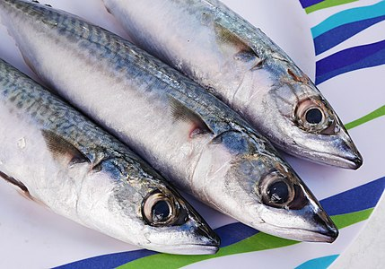 Atlantic mackerel (Scomber scombrus).