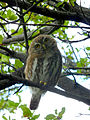 Austral Pygmy Owl Glaucidium nana, Torres del Paine 1.jpg
