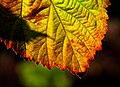 Autumn color in macro (15443340706).jpg