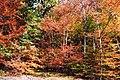 Autumn colours in Glyn-Hafren Wood - geograph.org.uk - 574044.jpg