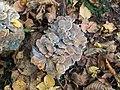 Autumn mushrooms 1 Hen of the woods (Grifola frondosa) (4035115888).jpg