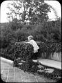 Avderson Garden, Brookline, MA - ampelopsis veitchii (5167691637).jpg