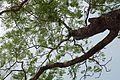 Bénin-Parkia biglobosa (3).jpg