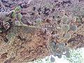 BCBG Ficus Sycomorus 02.jpg